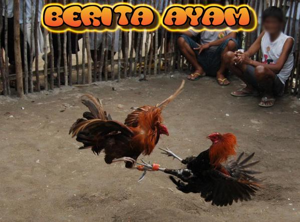 Turnamen Sabung Ayam Menggunakan Pisau