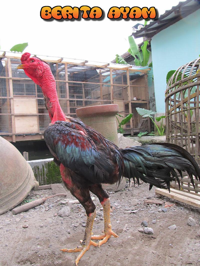 Berita Ayam - Keunggulan Ayam Aduan Dari Negara Vietnam. Ayam Vietnam merupakan ayam aduan handal yang diimpor langsung dari negara Vietnam.