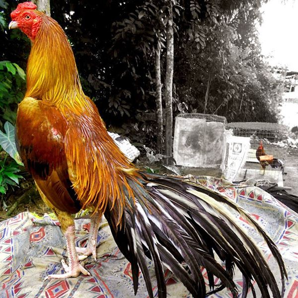 Berita Ayam - Ayam Bangkok Termahal Dengan Harga Fantastis. Bagi penghobi ayam bangkok yang sudah mendarah daging. Masalah uang sering kali bukan menjadi hambatan untuk bisa memiliki seekor ayam petarung yang mampu menang dalam setiap pertandingan.
