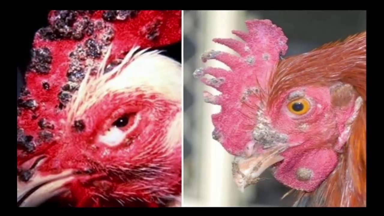3 Macam Penyakit Ayam Bangkok
