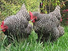 Ayam Plymounth Rock Yang Berasal Dari Amerika
