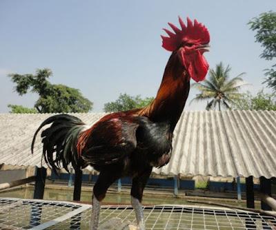ayam-pelung-cianjur