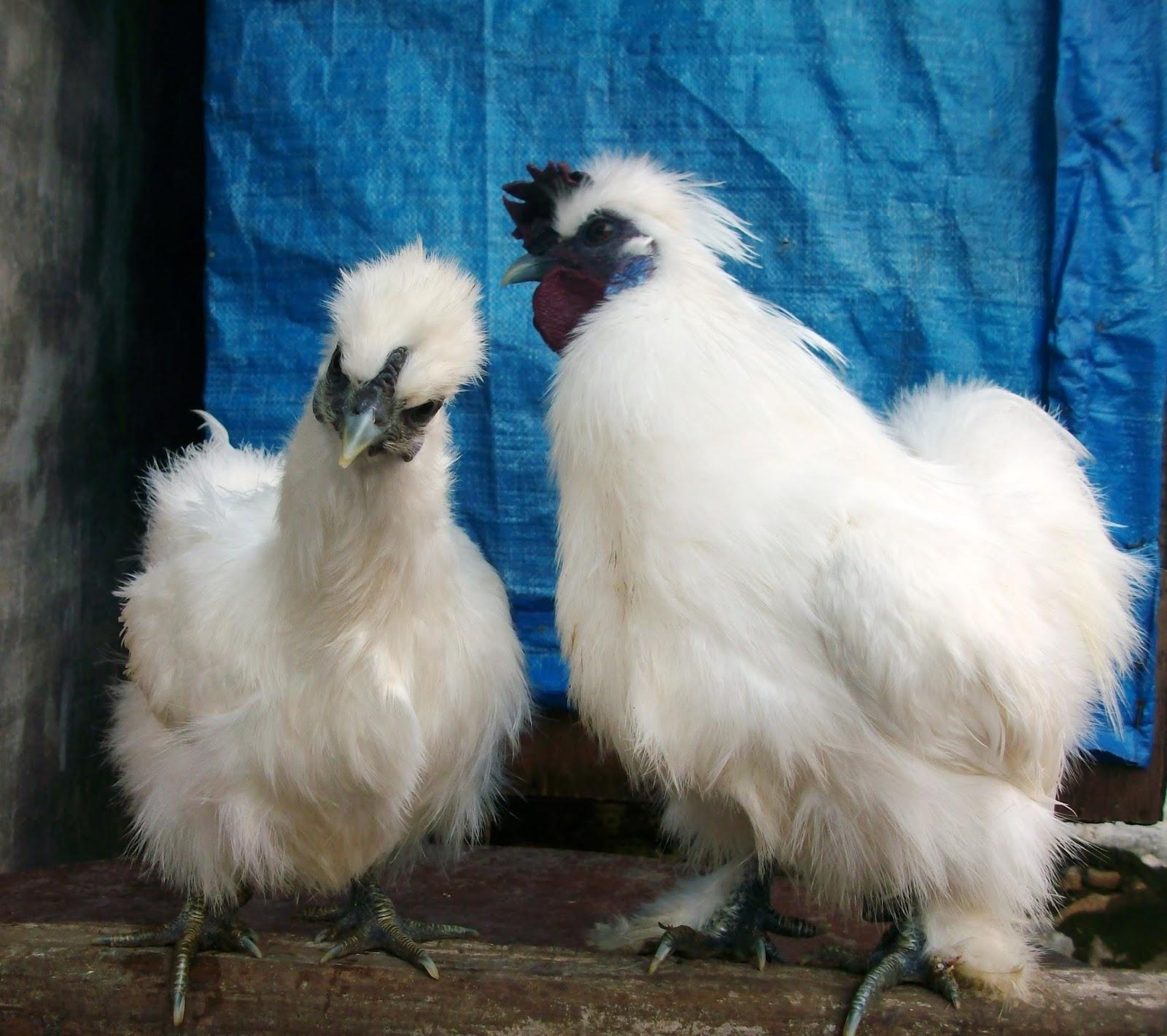 beritaayam.org – Ini Jenis Ayam Kapas Yang Unik
