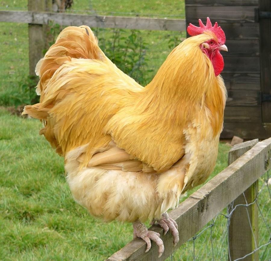 Ayam Orpington Salah Satu Jenis Ayam Asal Inggris