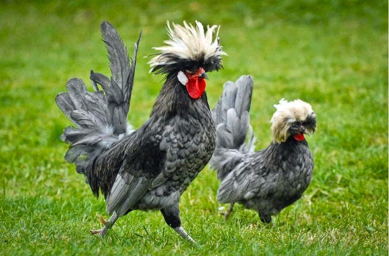 Ayam Polish Atau Ayam Jambul