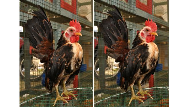 Di Palu Ayam Serama Primadona Ini Dihargai Puluhan Juta