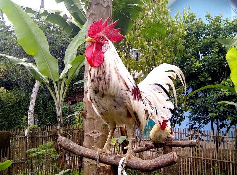Beberapa Jenis Dan Fakta Unik Seputar Ayam Ketawa