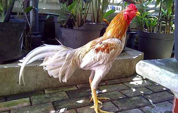 Ayam Bangkok Blorok Madu