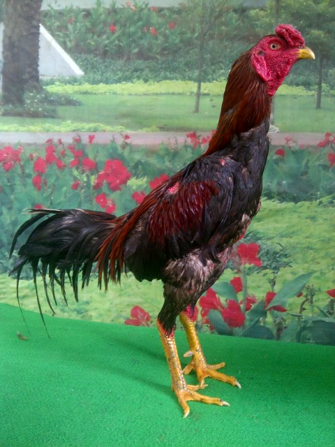 ayam-pakhoy