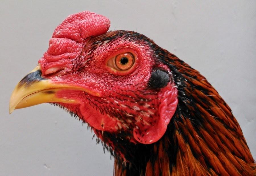 Ayam Jago Bangkok