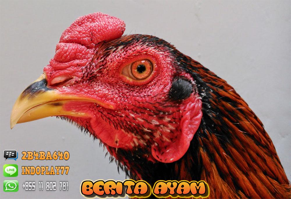 Berita Ayam Ciri kepala dan mata