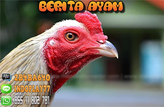 Cara Meruncingkan Paruh Ayam Bangkok Aduan