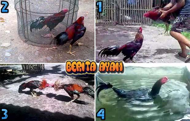 Tips Cara Untuk Melatih Nafas Ayam Bangkok Aduan