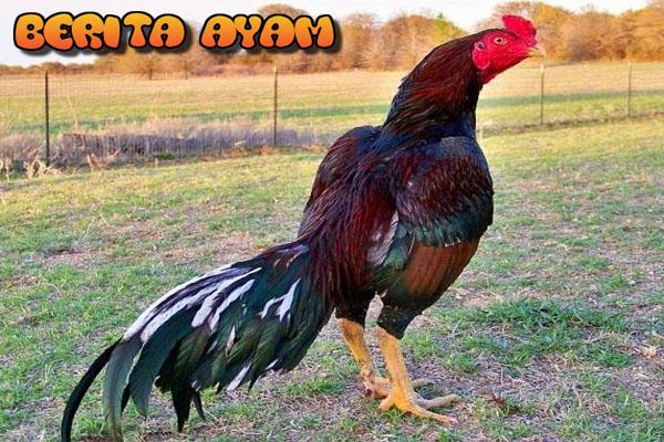 Tips Cara-Cara Untuk Merawat Ayam Bangkok Juara