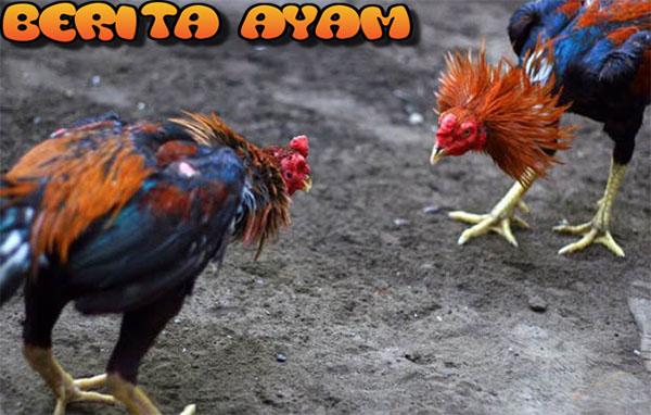 Cara Melatih Fisik Dan Pukulan Mematikan Ayam Bangkok