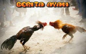 Cara Melatih Mental Ayam Bangkok Juara