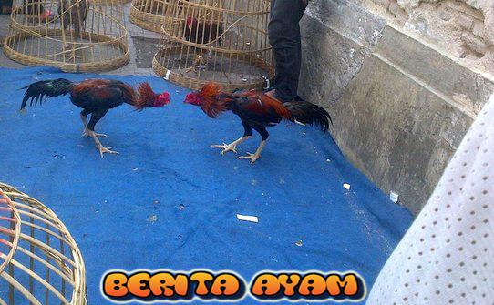 Berita Ayam Manfaat Jagung Untuk Ayam Aduan (2)