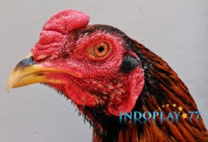 Agar Paruh Ayam Kuat Tak Terkalahkan.