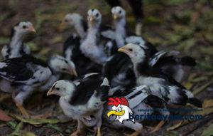 Inilah Rahasia Bagaimana Cara Merawat Anak Ayam Bangkok Agar Cepat Besar