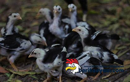 anak-ayam-bangkok