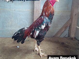 Ayam Bangkok Brajamusti Mencapai Harga 250Juta Rupiah