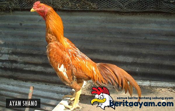 ayam-shamo
