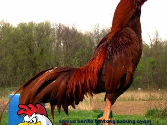 Jenis-Jenis Ayam Aduan Selain Ayam Bangkok