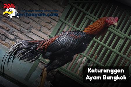 Rahasia Katuranggan Ayam Bangkok Botoh Tua