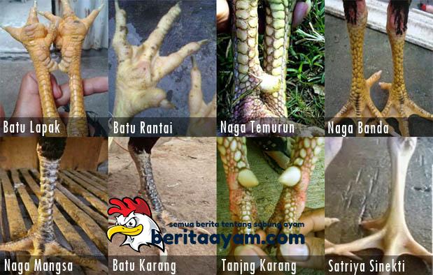 Sisik Kaki Ayam Bangkok Katuranggan