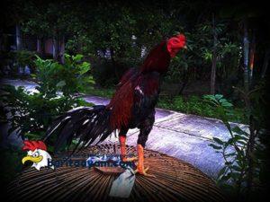 Mengenal Ciri-Ciri Ayam Bangkok Dengan Pukulan Mematikan