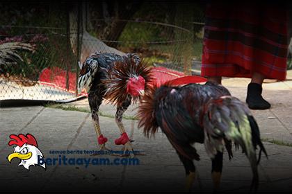 8 Jenis Pukulan-Pukulan Ayam Bangkok Yang Paling Mematikan