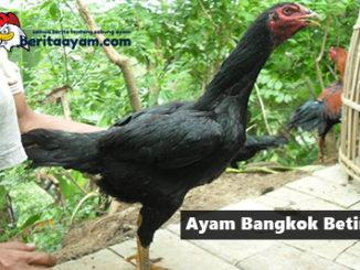 Ciri Ayam Bangkok Betina Yang Baik Untuk Dijadikan Induk Babon Cetak