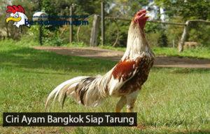 Ciri Ayam Bangkok Yang Siap Ditarungkan