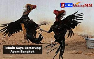 Teknik Gaya Bertarung Ayam Bangkok Aduan