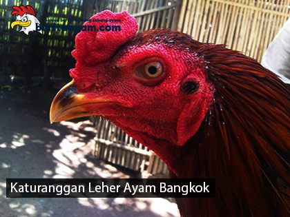 Katuranggan Leher Ayam Bangkok