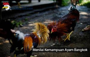 Menilai Kemampuan Ayam Bangkok