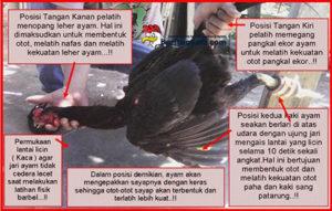 Cara Melatih Katuranggan Leher Ayam Bangkok