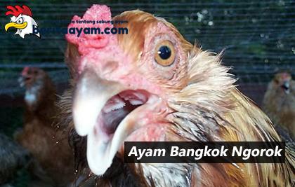 3 Penyebab Ayam Bangkok Ngorok