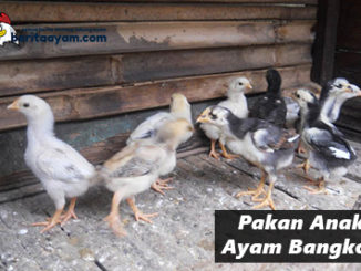 Inilah Rahasia Para Botoh Pakan Anak Ayam Bangkok yang Paling Baik
