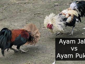 Inilah Perbedaan Gaya Tarung dan Ciri Fisik Antara Ayam Jalu Dan Ayam Pukul