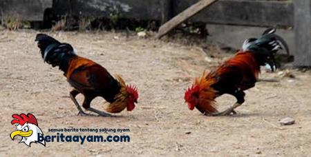 Cara Ampuh Untuk Memperkaya Teknik Gaya Bertarung Ayam Bangkok