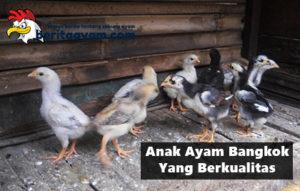 Inilah 5 Ciri Fisik Dari Anak Ayam Bangkok Yang Berkualitas