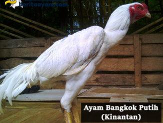 Inilah Mitos-Mitos dari Ayam Bangkok Putih (Kinantan) dalam Laga Pertandingan