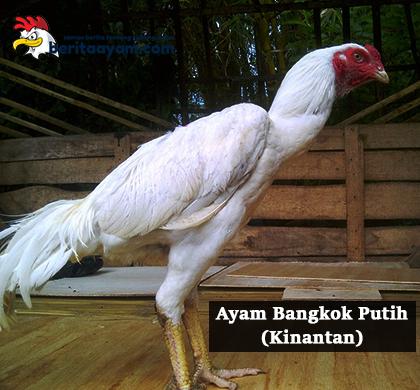 ayam-bangkok-putih