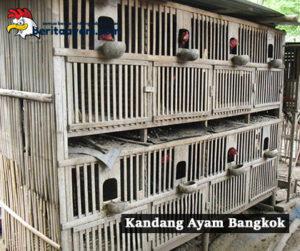 Inilah Cara Membuat dan Ukuran Kandang Ayam Bangkok