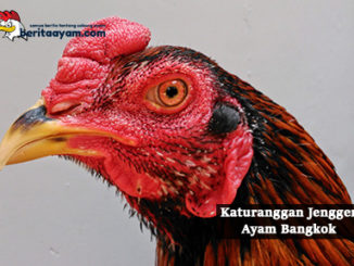 Inilah Katuranggan Jengger Ayam Bangkok Blangkon, Wilah dan Mawar