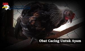 Obat Tradisional Yang Ampuh: 4 Obat Cacing Untuk Ayam Bangkok