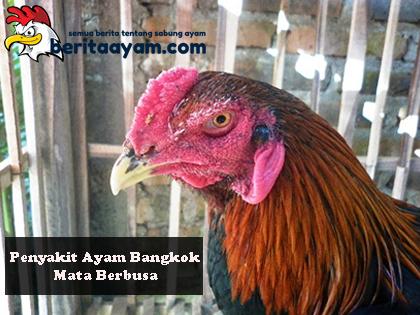 Beberapa Cara Mengobati Penyakit Ayam Bangkok Mata Berbusa