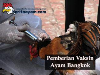 Beberapa Tips Pemberian Vaksin Ayam Bangkok Yang Benar