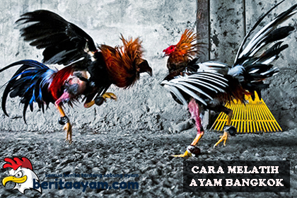 Cara Melatih Ayam Bangkok Dilihat Dari Bentuk Fisiknya